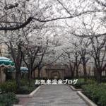 TDRの桜